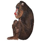 Baboon Peel and Stick Wall Sticker